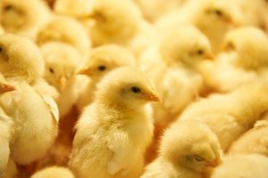 Cara Merawat DOC Ayam
